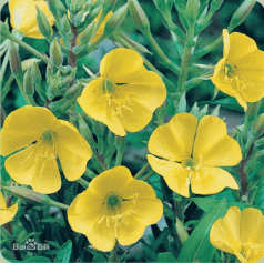 Evening primrose oil,Evening primrose essential oil,CAS 65546-85-2