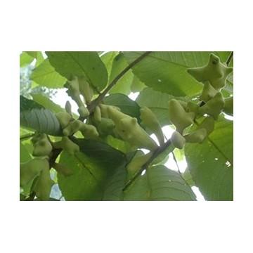 gallnut