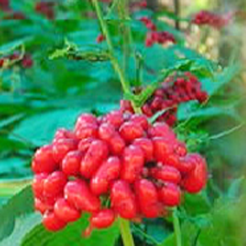 Panax Ginseng Flower Extract