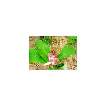 Magnoliae Officinalis P.E.