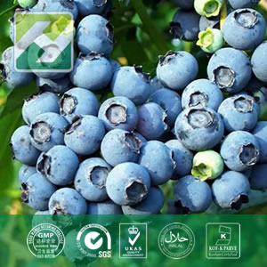 Blueberry Leaf Extract (Vaccinium Angustifolium) Chlorogenic Acid