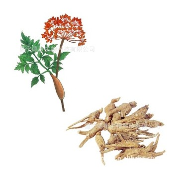100% pure angelica root extract essential oil