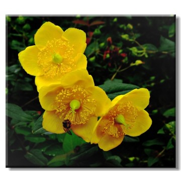 Evening primrose oil pure natural essential oil