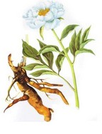 Paeonia lactiflora P.E.
