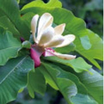 ExMagno™ Magnolia Extract
