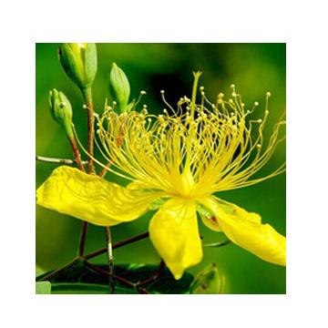 Forsythia Suspansa oil