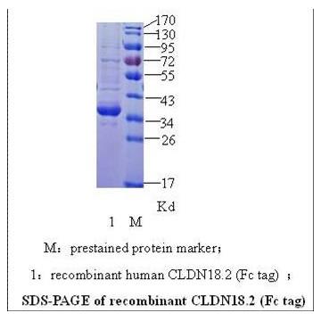 CLDN18.2 Fc tag