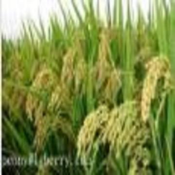 Rice bran protein