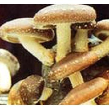 Mushroom Extract: lentinan