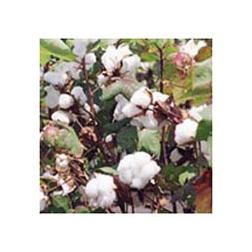 Gossypol Acetate plant extracts
