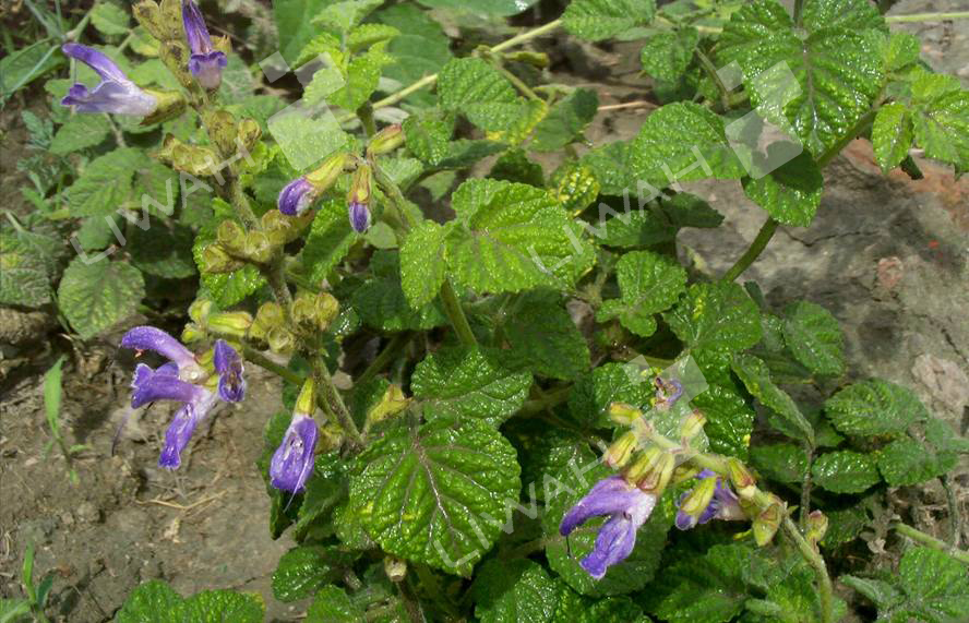 Salvianolic acid B/Salvia miltiorrhiza P.E