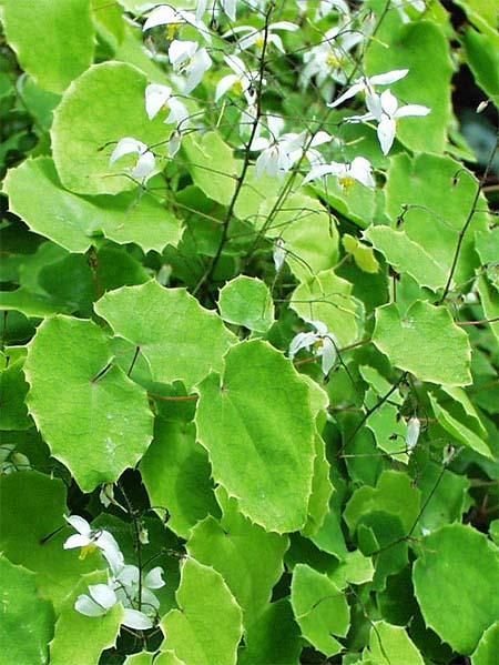 Epimedium Extract powder