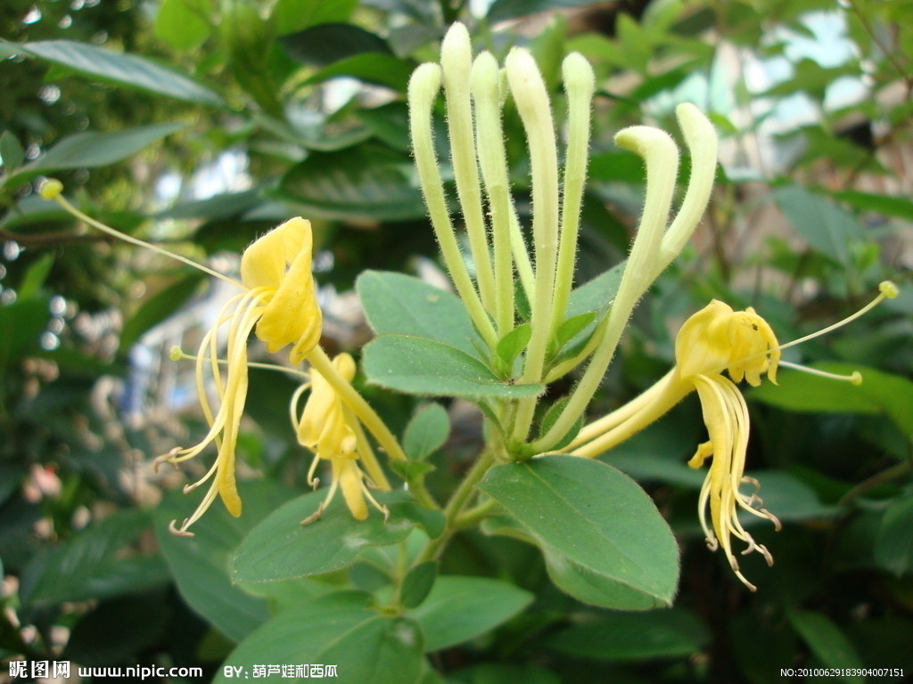 HoneySuckle Flowers Extract powder