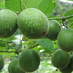 Advantages and market trends of Monk Fruit Extract Product